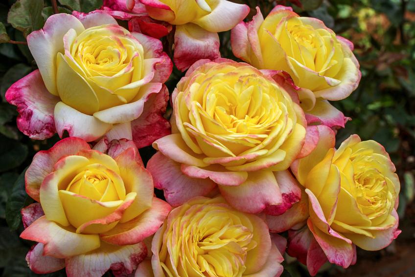 Розы Кордеса 56 фото особенности сорта Юбилей лучшие зимостойкие сорта для Подмосковья отзывы о французских розах