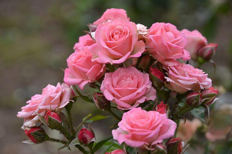 Розы кустовые отличаются разнообразием видов и богатством цветовой палитры