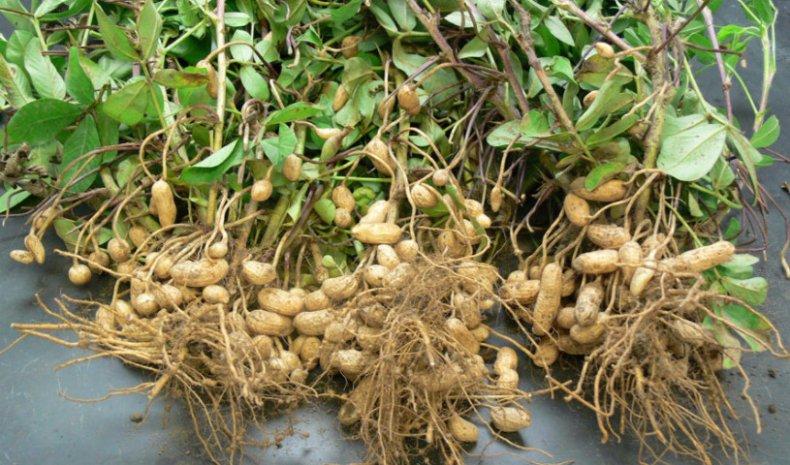 Чтобы ускорить процесс сушки можно поместить орехи в духовой шкаф, нагретый до температуры не выше +40 °С. Периодически приоткрывайте духовку, чтобы плоды могли «дышать».