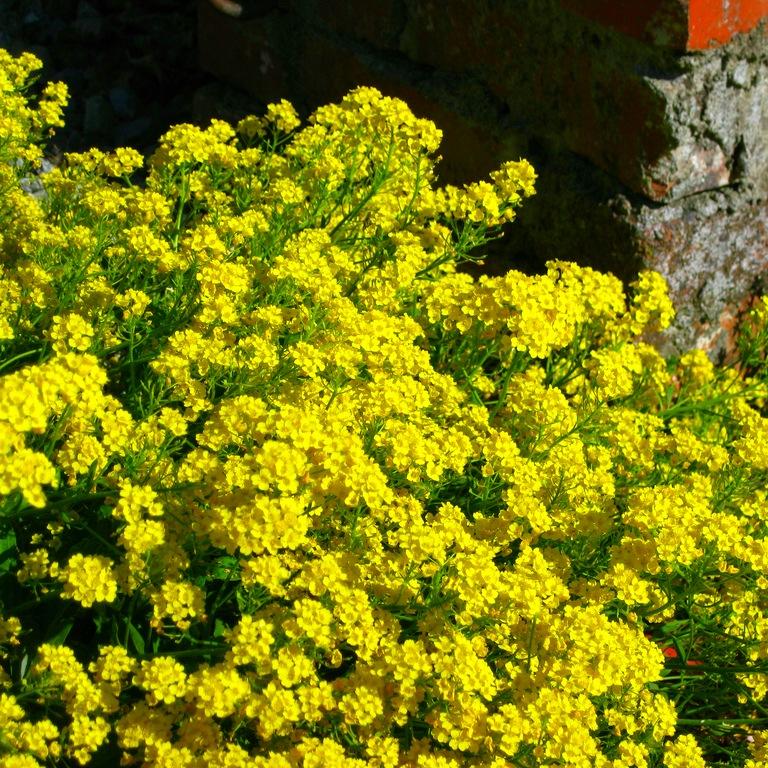 Обильное цветение отмечается у камней и скал