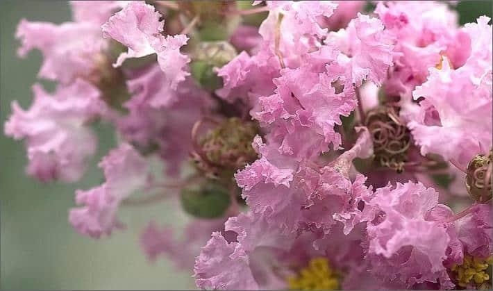 Индийская сирень цветет с начала июля и вплоть до октября