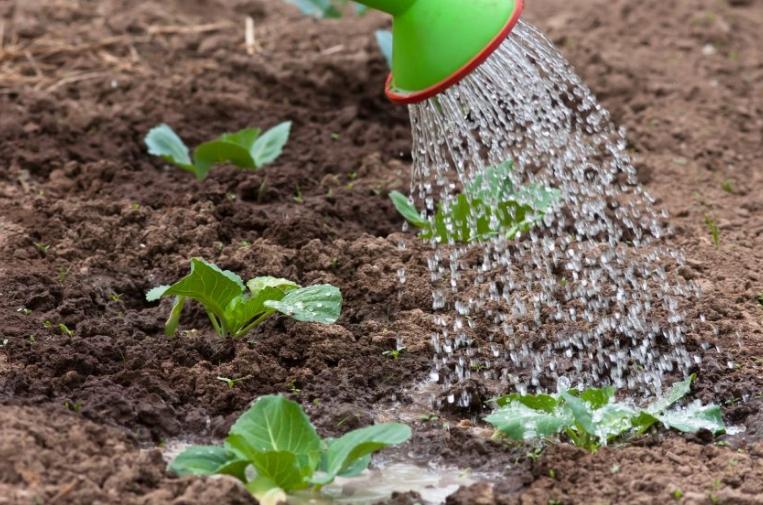Если удобрить рассматриваемым составом рассаду после высадки в грунт, то она будет расти намного лучше