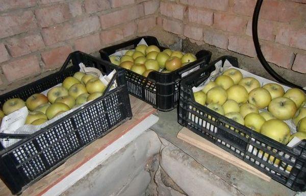 Чтобы сохранить товарный вид плоды нужно складывать в проветриваемые ящики, перестилать бумагой и держать при температуре не более 5 – 7ºС