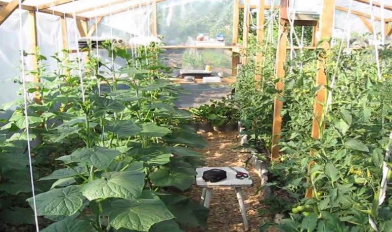 Томаты с огурцами часто высаживают в одной теплице, но это не самое лучшее соседство
