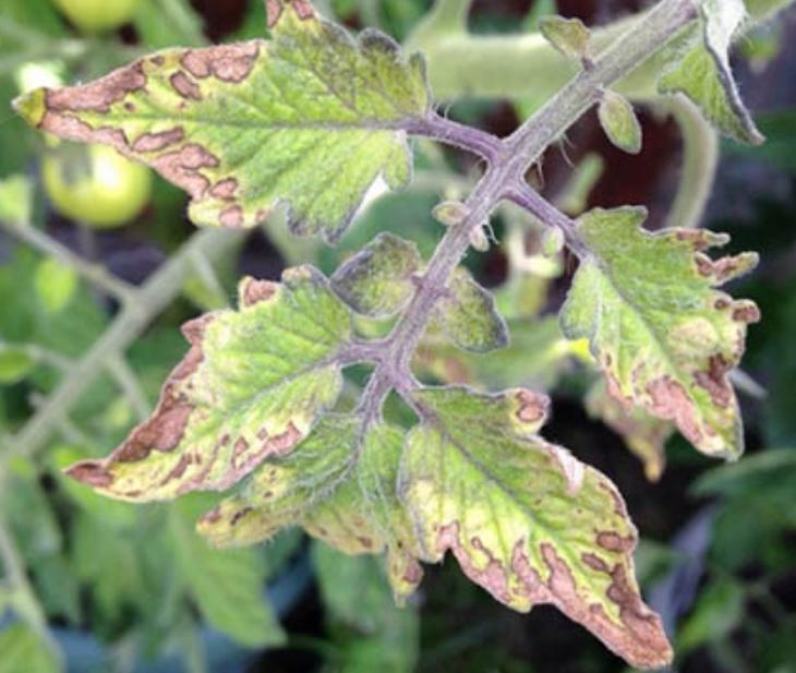 При нехватке питательных компонентов чаще всего сохнут кончики или края листвы