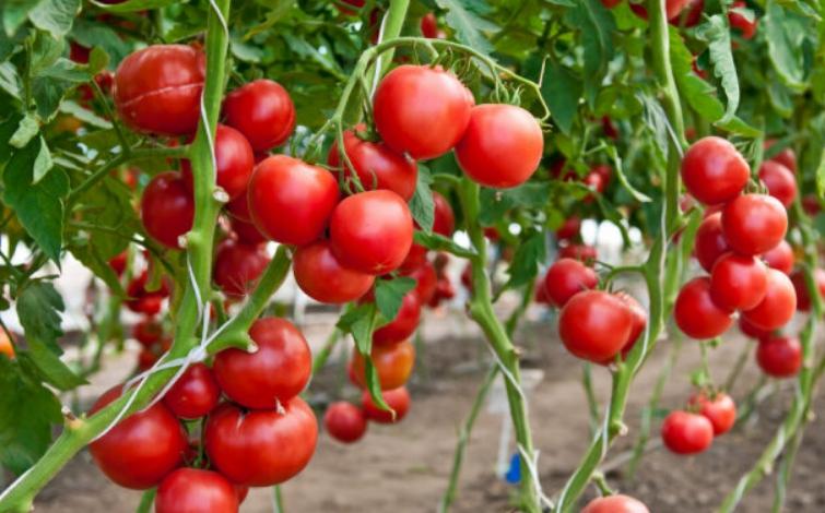 Томаты хорошо плодоносят только при обильном естественном освещении