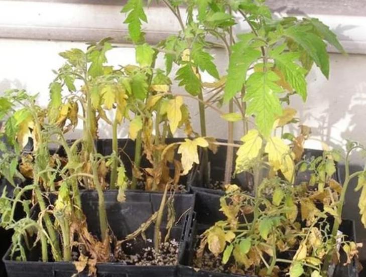 Если температура очень высокая, то растения буквально сгорают за несколько дней