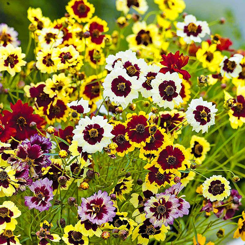 Расцветка Кореопсисов поражает своим разнообразием