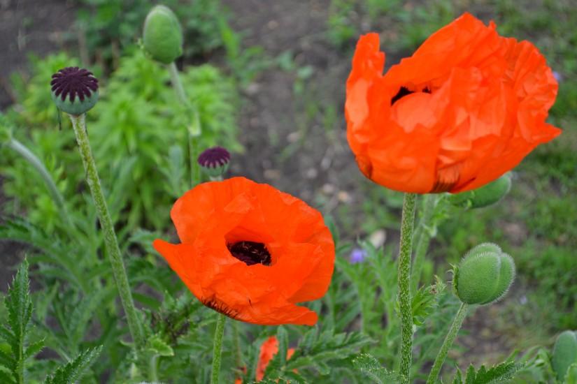 Восточный и прецветниковый маки запрещены к выращиванию на садовых участках