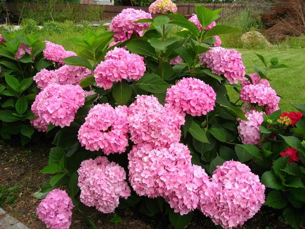 Даже в неблагоприятных климатических условиях можно добиться обильного цветения