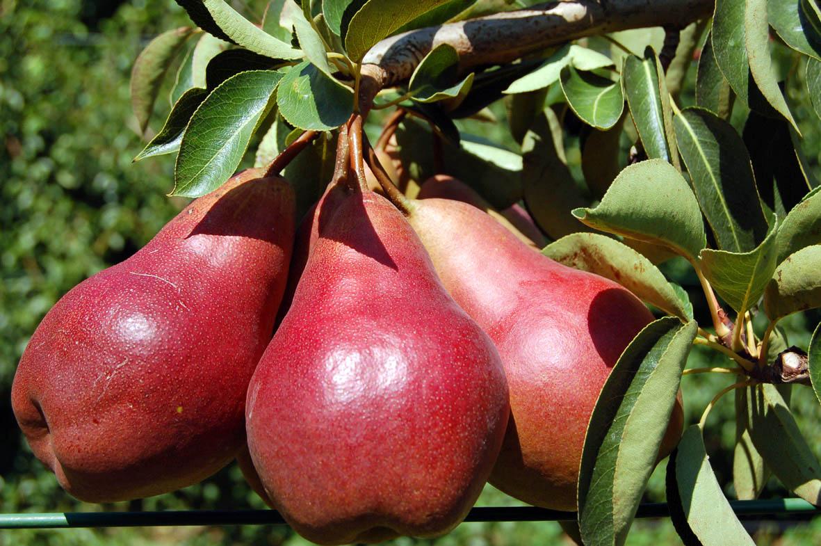 По размерам и вкусовым качествам плоды не уступают обыкновенной груше