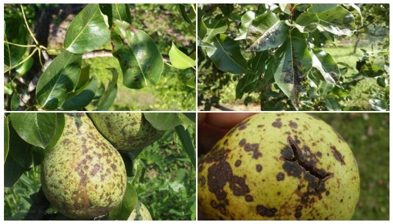 Жизненный цикл парши начинается с возникновения спор, которые рассеиваются дождём, поэтому особенно важно следить за плодовыми растениями в дождливый сезон и защищать их от болезни