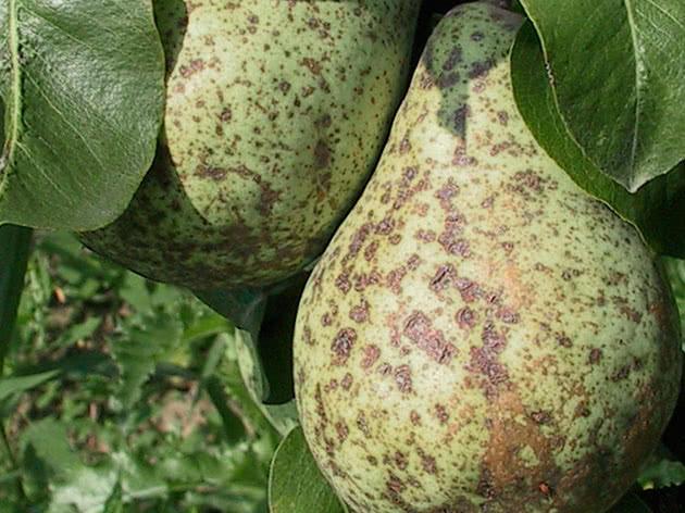 Часто из-за того, что парша ослабляет растения, на них появляются и вредители