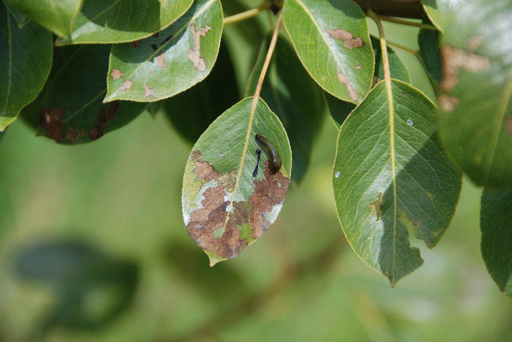 Пораженные вредителями деревья ослабевают, становятся менее устойчивыми к недугам