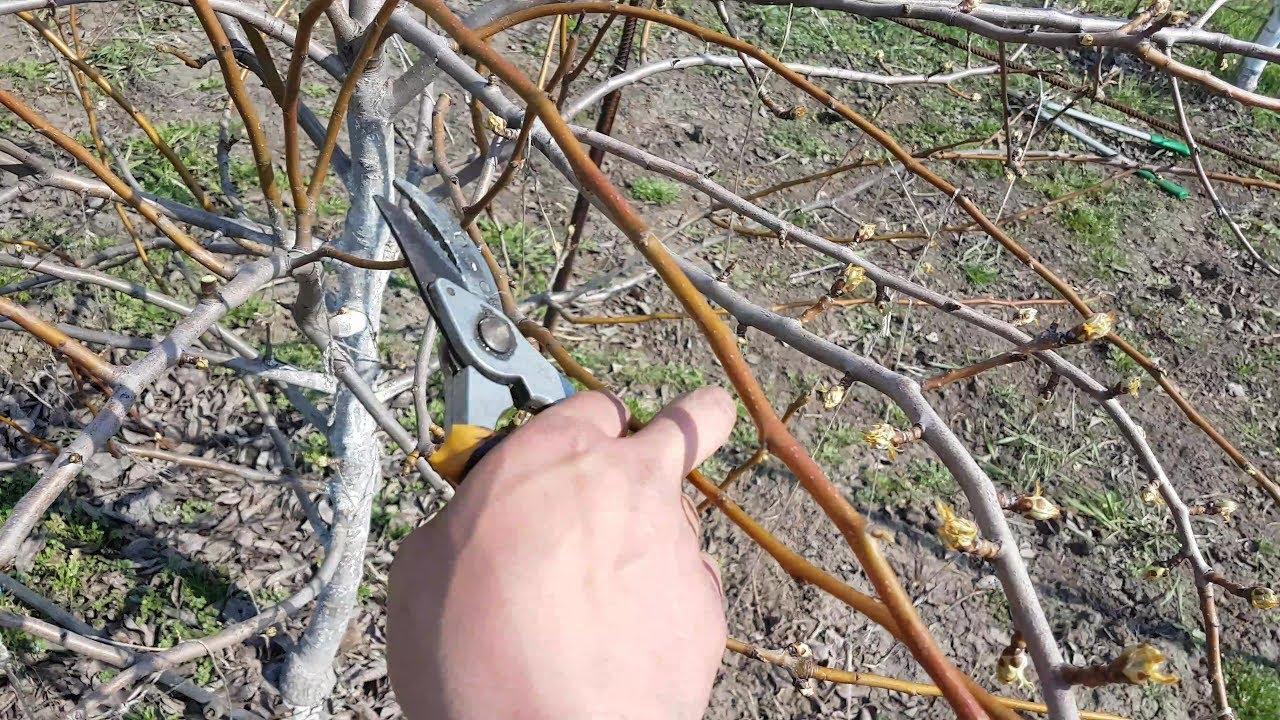 Обрезая побеги, обязательно обрабатывайте инструменты раствором марганцовки