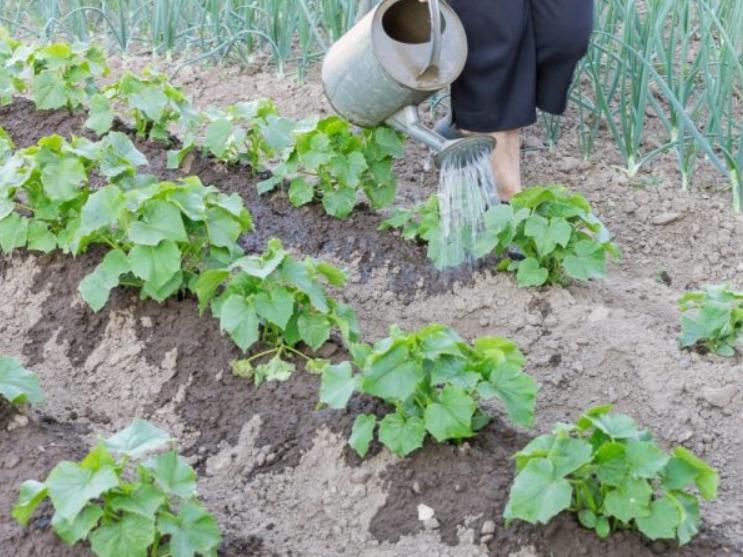 Все полезные вещества, которые содержатся в луковой шелухе и переходят в раствор, отлично усваиваются растениями