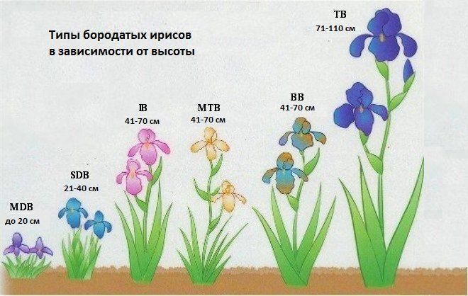 По сокращенной аббревиатуре, которая указывается на коробке, можно понять какая высота будет у цветка