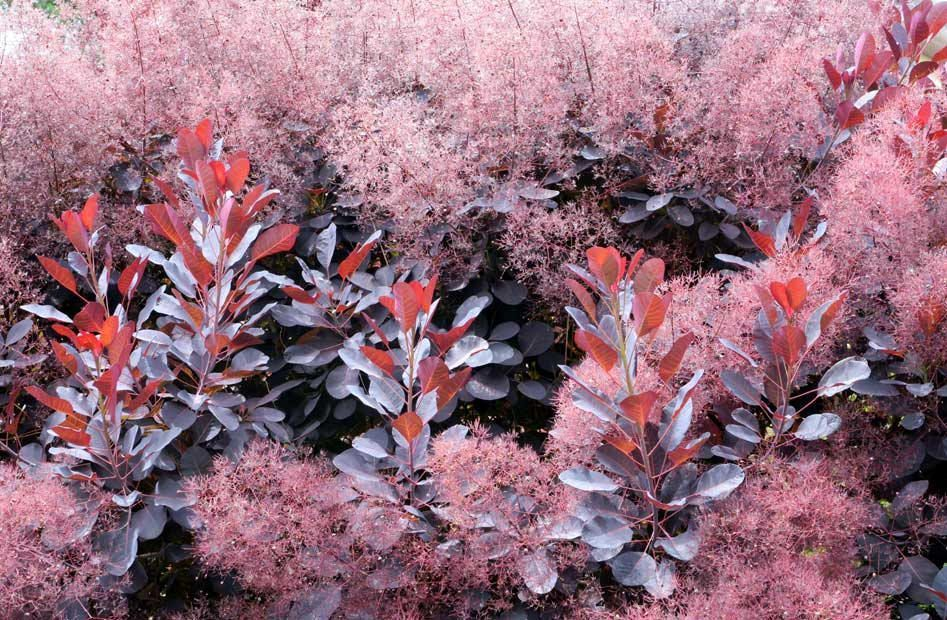 Листья растения содержат дубильные вещества, используемые для изготовления кожи