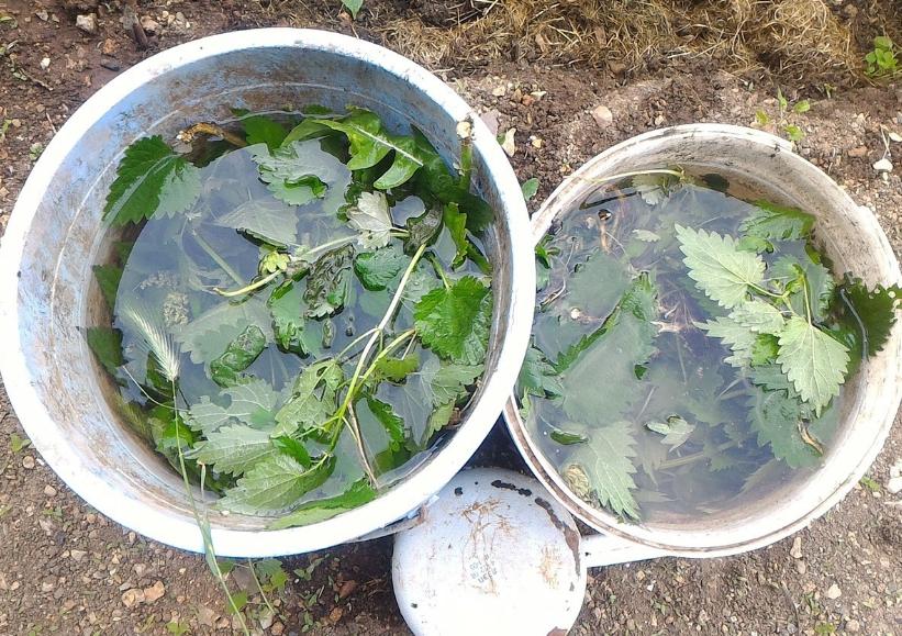 Сорняк можно использовать для приготовления очень полезного удобрения для огурцов и других овощных культур