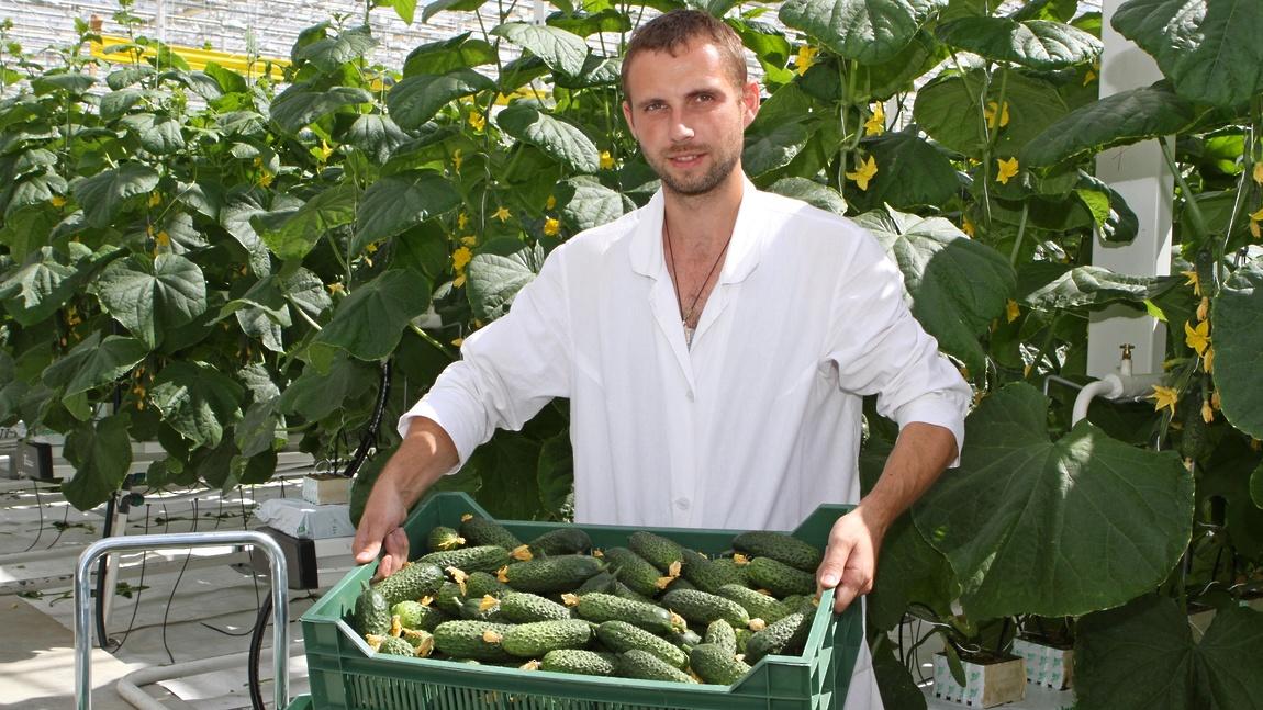 Практически все жители Луховицкого района заняты выращиванием огурцов