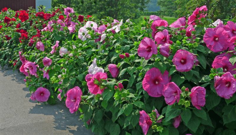 Садоводы советуют вовремя удалять увядшие цветки, так как на их месте тут же появляются новые