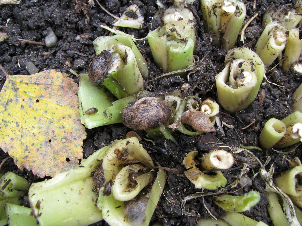 Слизни и улитки могут уничтожить растения всего за пару дней