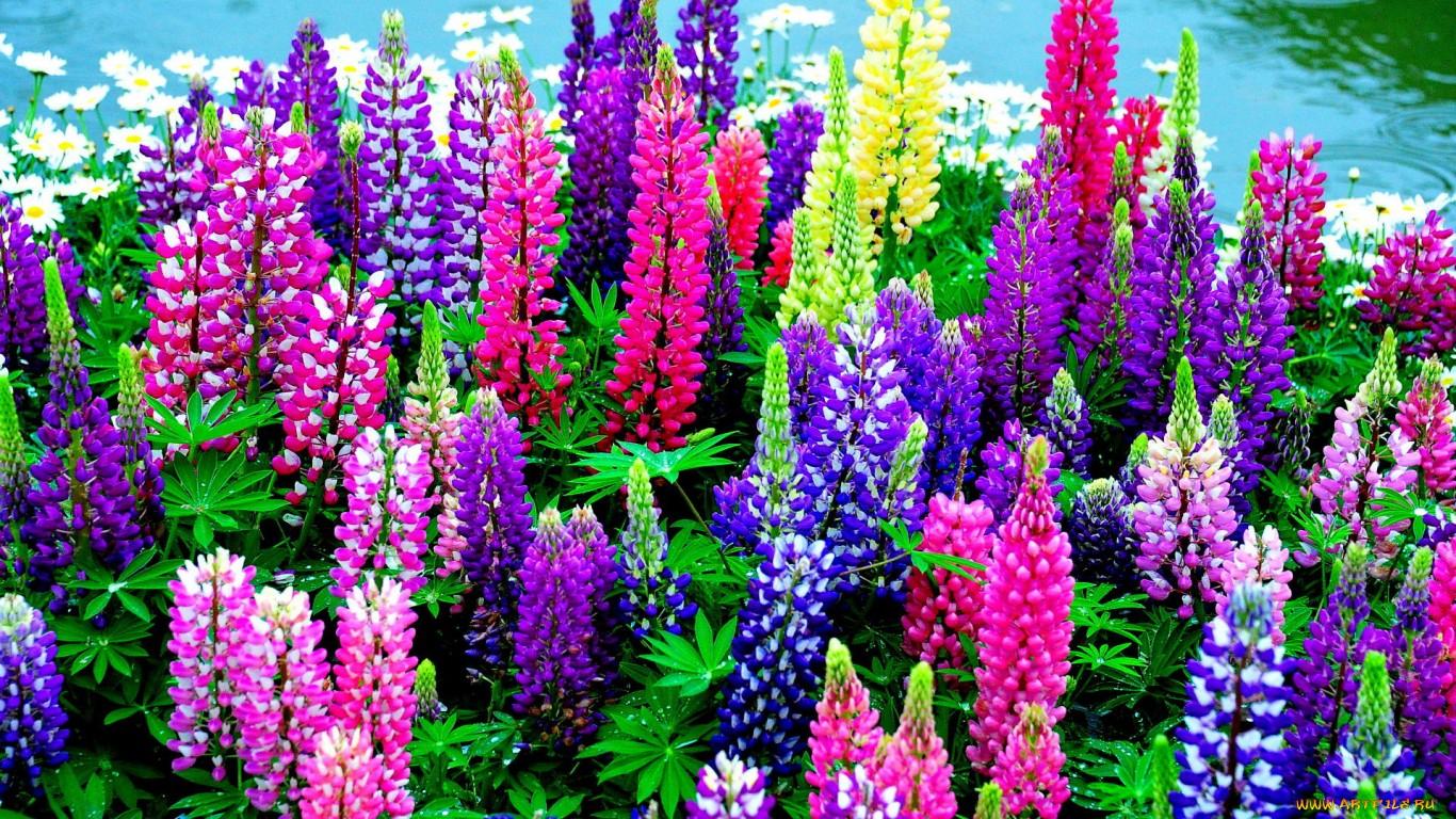 В открытом грунте Люпины цветут только на второй год