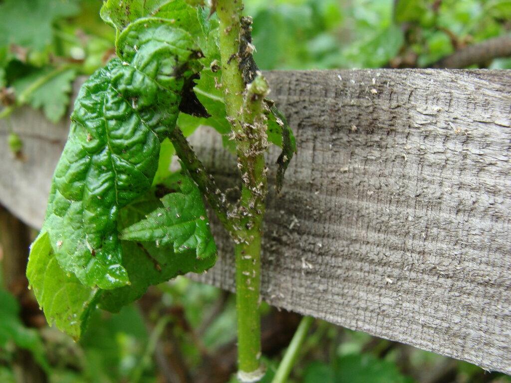 Некоторые вредители красной смородины могут серьезно снизить урожайность