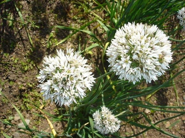Цветы являются отличным медоносом и обладают декоративным видом