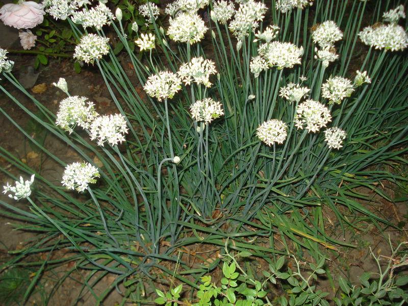 На фото — цветущий душистый лук