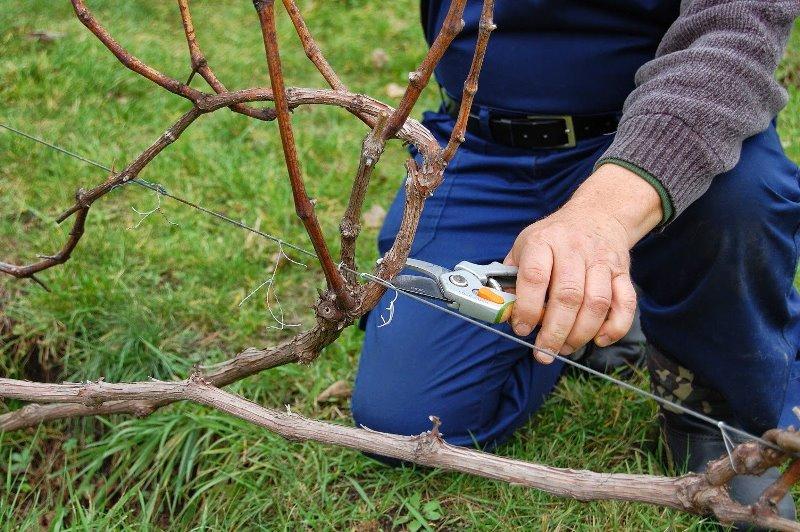 Обрезка помогает сформировать здоровый, урожайный им компактный куст винограда