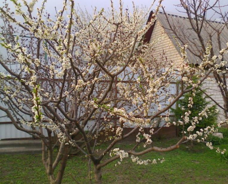Цветут растения рано – в начале мая, поэтому велика опасность повреждения бутонов весенними заморозками