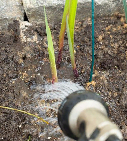 Как посадить гладиолусы чтобы они не падали