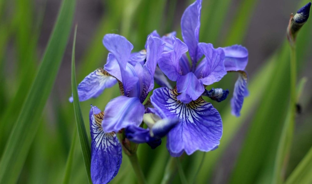 Цветки сибирских ирисов менее крупные по сравнению с традиционными садовыми растениями
