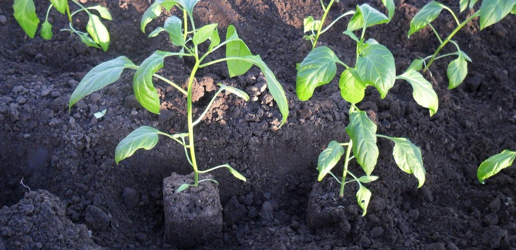 Получить хороший урожай без крепкой рассады не реальноПолучить хороший урожай без крепкой рассады не реально