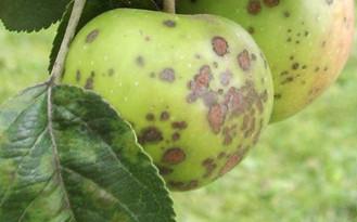 Карликовые яблони сорта посадка и уход фото отзывы