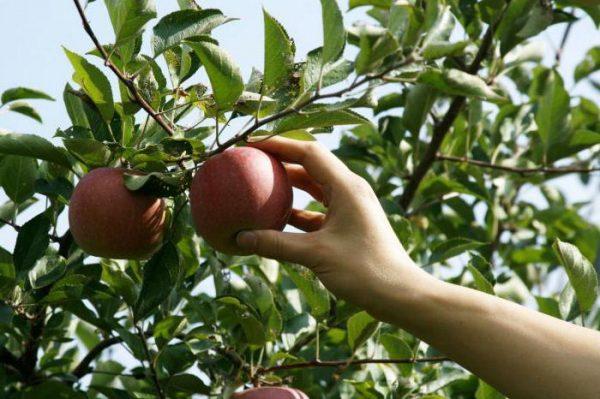 Прогибающаяся, но не выравнивающаяся кожица на яблоке, означает, что оно полностью готово для сбора
