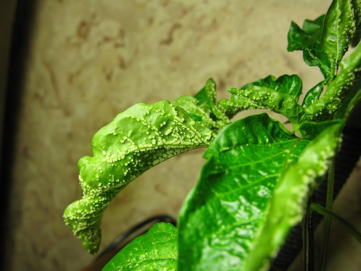 Один из основных признаков многих недугов и вредителей – скручивание листьев
