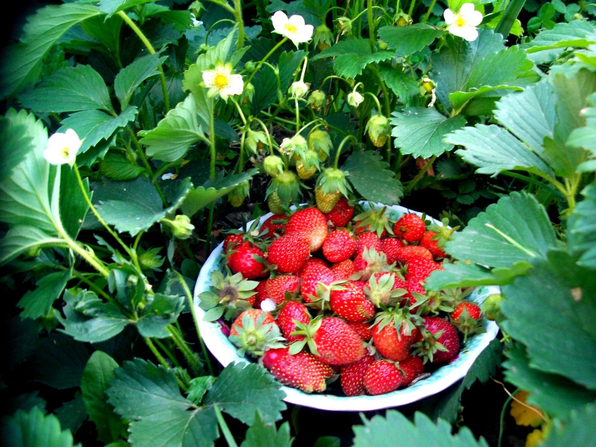 Многие сорта земляники способны цвести и плодоносить весь сезон