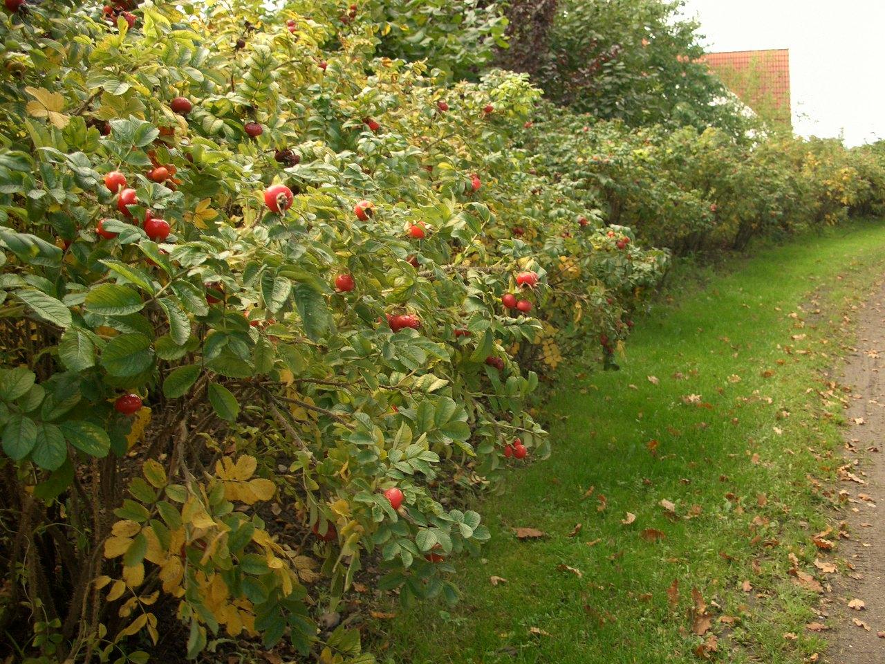Сбор плодов длится до первых заморозков.