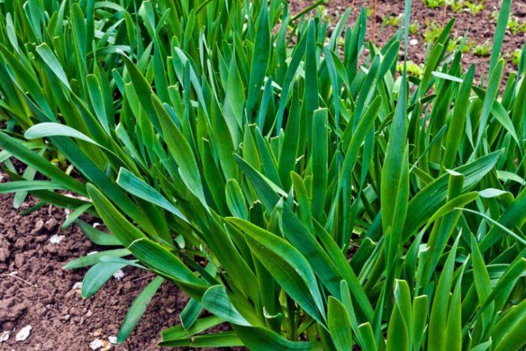 каста сорта лука зеленого с фото белый халат