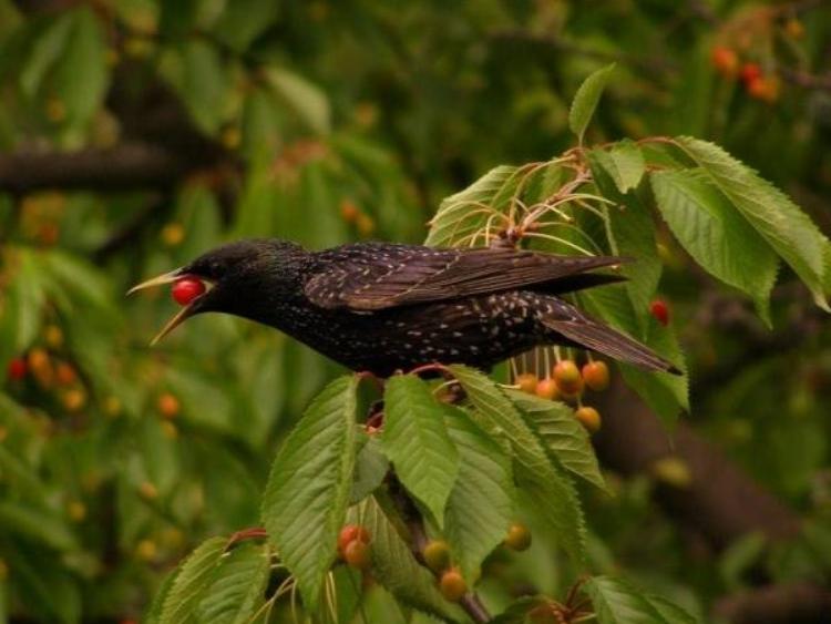 Чаще всего урожай уничтожают именно скворцы, поэтому нужно руководствоваться тем, что отпугивает этих птиц
