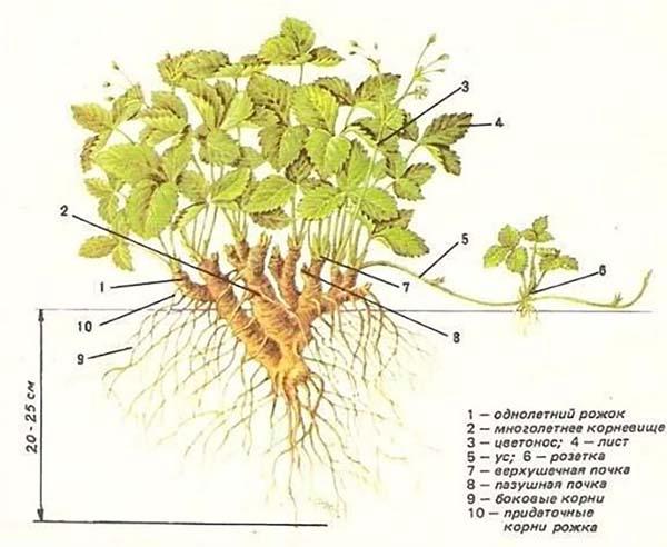 Схематическое изображение материнского куста клубники
