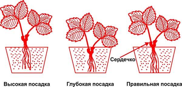 На картинке показаны варианты заглубления точки роста — сердечко заглублять нельзя