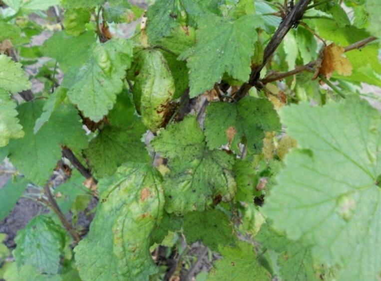 Пораженные листья начинают деформироваться, менять цвет и высыхают с течением времени
