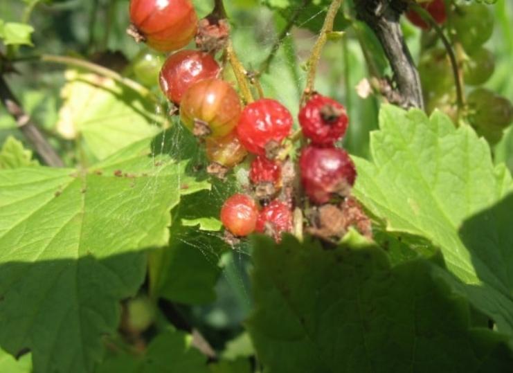 Ягоды черной смородины в паутине – очень опасный знак, если не бороться с вредителем, то урожай погибнет
