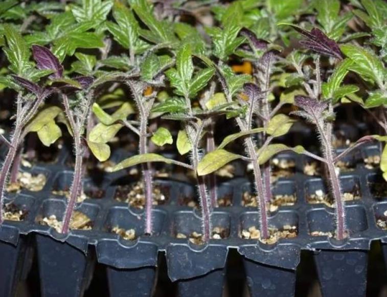 Синяя рассада – показатель того, что растениям нужно улучшить условия питания и содержания