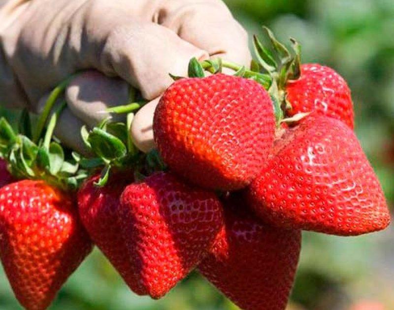 Выровненные плоды и высокая урожайность привлекают фермеров