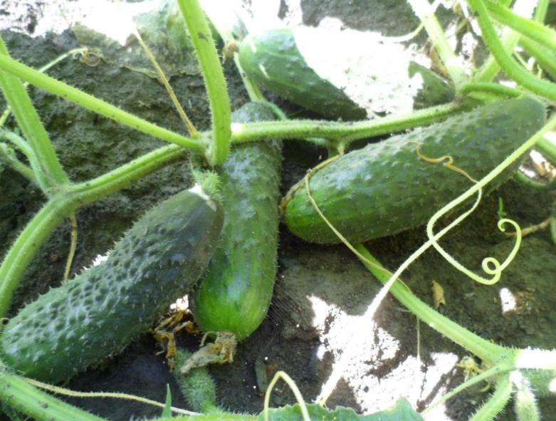 Для получения хорошего урожая совсем необязательно использовать минеральные удобрения, можно обойтись и природными составами