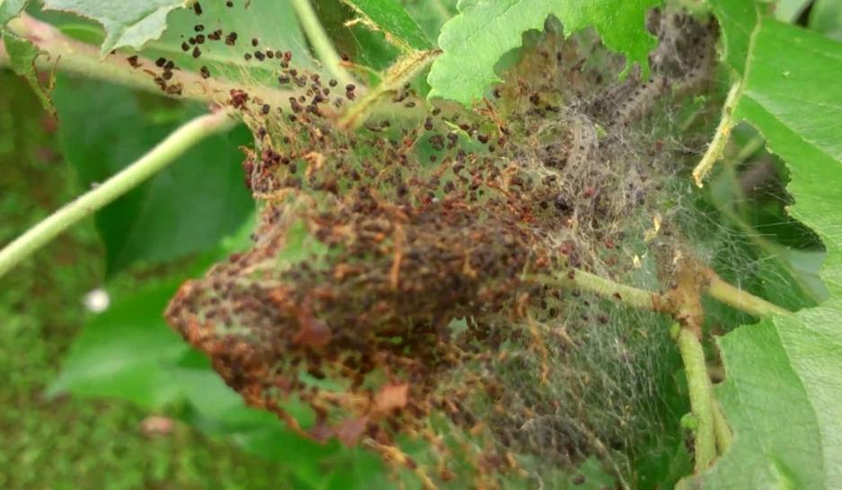 На дереве образуются целые гнезда из паутины, в которых вредители прячутся от птиц